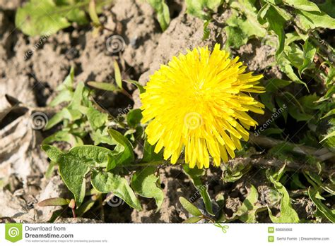 low light organically grown house plant by dandelionsvintage isolated dandelions in a green field royalty free stock