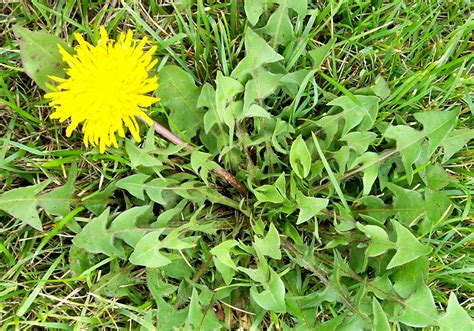 how to cut weeds in backyard how to rid lawn of weeds garden guides