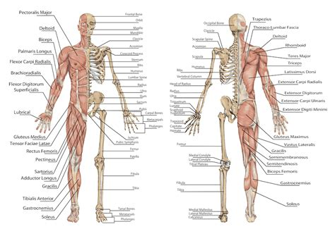 Definition Of Section In Anatomy by Human Anatomy Anatomy Pictures System And Functional Free