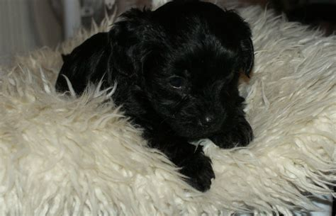 yorkie poo breeders colorado yorkiepoo puppies manchester greater manchester pets4homes