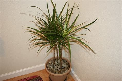 house trees top 10 tropical house plants any one can grow the self sufficient living