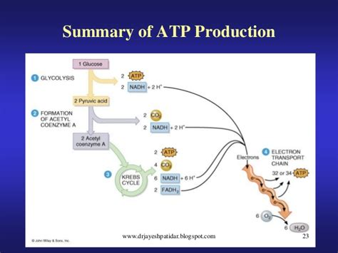 carbohydrates in atp production metabolism