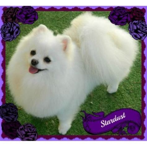 pomeranians for sale in california pomeranian rescue tennessee breeds picture