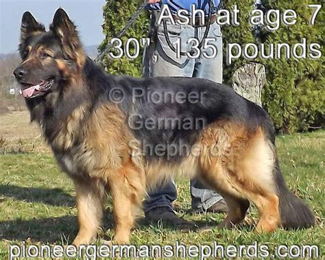 big boned german shepherd puppies for sale coat german shepherd puppies from pioneer german shepherds coat german