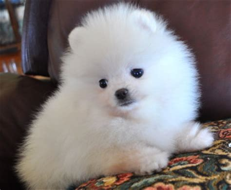 prices for pomeranian puppies why do pomeranian puppies cost so much pomeranian