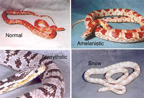 snake colors corn snake colours www imgkid the image kid has it