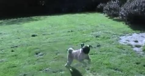 the pug who can t run loca the pug can t freaking run