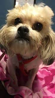 shih tzu rescue kansas city kansas city mo shih tzu poodle miniature mix meet ollie a for adoption