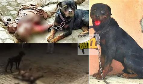 rottweiler kills of pet rottweiler that killed and ate caretaker s in panipat