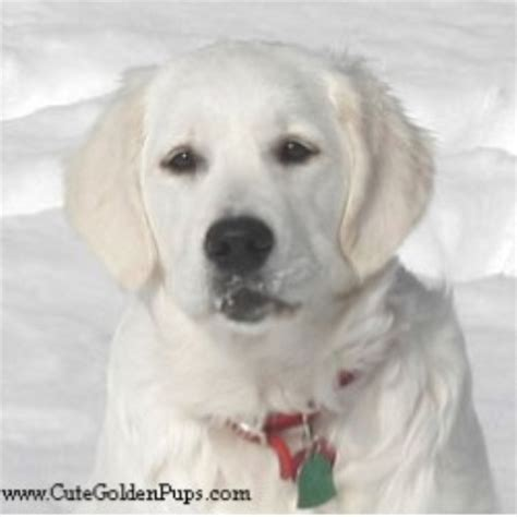 golden retriever breeders new golden retriverers akc golden retriever breeder in newton new jersey listing id