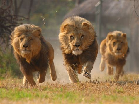 imagenes de leones fuertes african lion facts the sub saharan big cats pinstorus