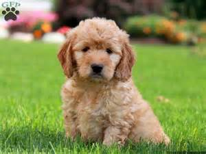 doodle doodle puppies richie mini goldendoodle puppy for sale from gordonville