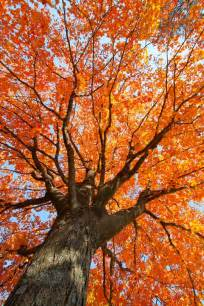 20 Fall Trees Ideas Fall Trees