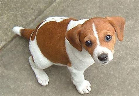 beagle terrier mix puppy jackabee terrier beagle mix info puppies pictures