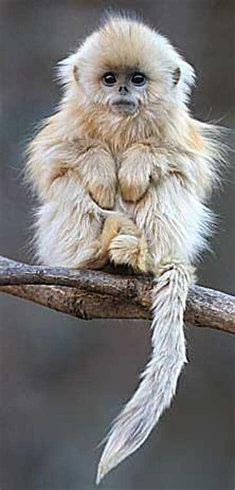 snub nosed monkeys aka sneezing  michael jackson