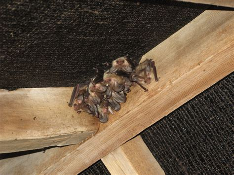 bats in house applied ecology ltdneed help with bat survey and mitigation applied ecology ltd