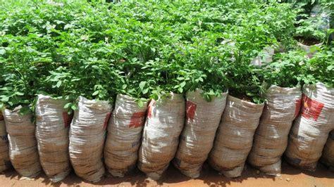 Bibit Benih Seed Sayur Lobak Radish Home Growing Vegetables growing potatoes in bags