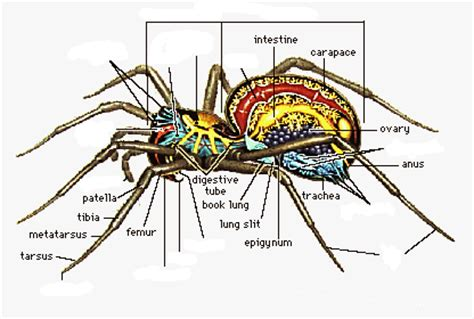 diagram of a black widow spider there are 14 missing parts if you are trouble
