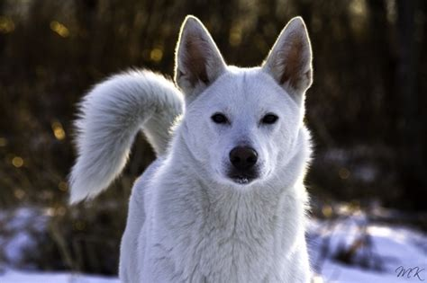 white in swedish swedish white elkhound dogs