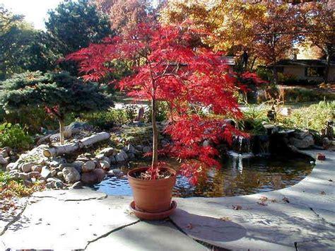 potted laceleaf japanese maple maple tree landscape
