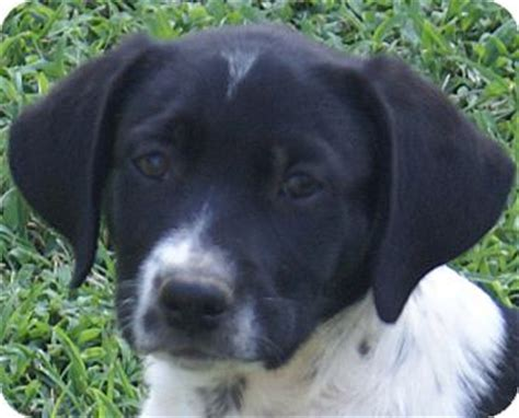 syracuse puppies syracuse ny pointer labrador retriever mix meet bw a puppy for adoption