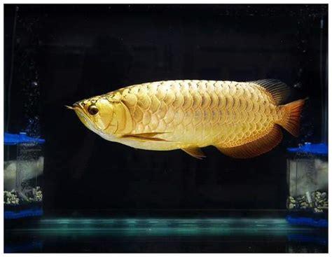 Bibit Ikan Arwana Golden jenis dan harga ikan arwana binatang peliharaan