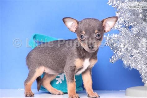 chihuahua puppies ohio chihuahua puppy for sale near columbus ohio e6a9928d 2521