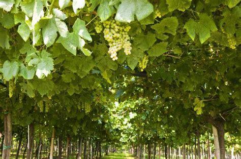 blauwe regen kopen boskoop druiven planten free druiven snoeien vergt lef van de