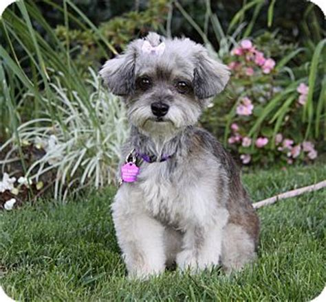 yorkie poodle mix for adoption adopted newport ca yorkie terrier poodle or tea