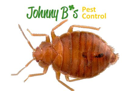 bed bugs trees johnny b pest