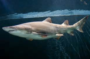National Aquarium ? Sand Tiger Shark