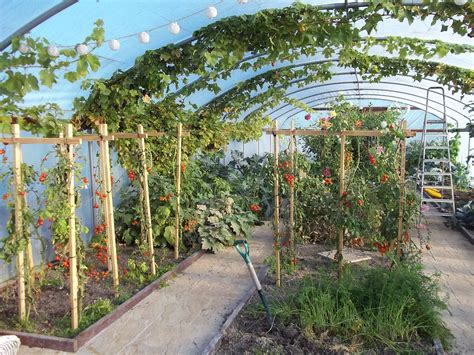 polytunnel  mid october  tomatoes    bit