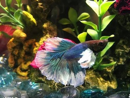 how often to feed a how often should you feed a betta fish aquarium adviser