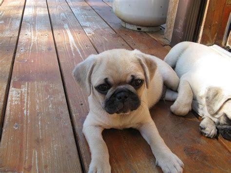 pug breeders seattle chug puppy oh dear wish list chugs animal and