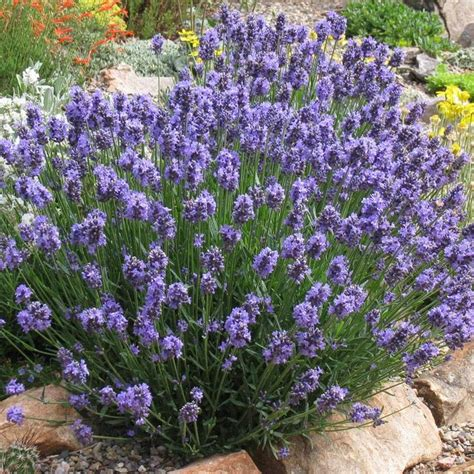 best 20 spanish lavender ideas on pinterest