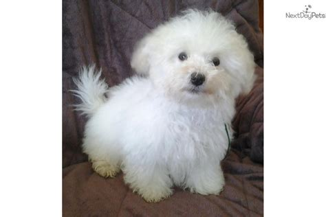 white bolognese puppies sale italian bolognese puppies for sale breeds picture