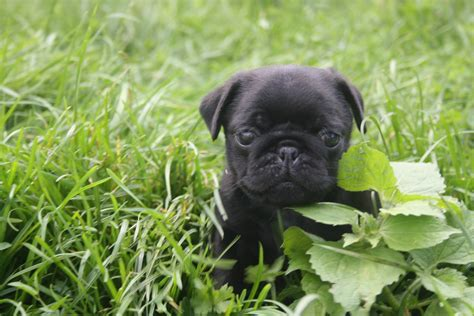 cutest black pug
