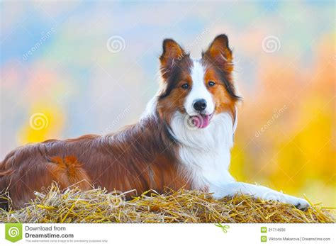 collie dogs border collie lie on hay in autumn time stock photo image 21714930