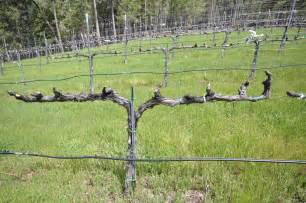 Training Grape Vines Pergola by Trellising Grapes At Home Trellis Trained And Pruned