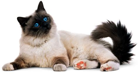 Types of Cats   Domestic Cat Breeds   DK Find Out
