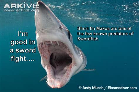 shark meme shark meme monday 2 sharkstuff
