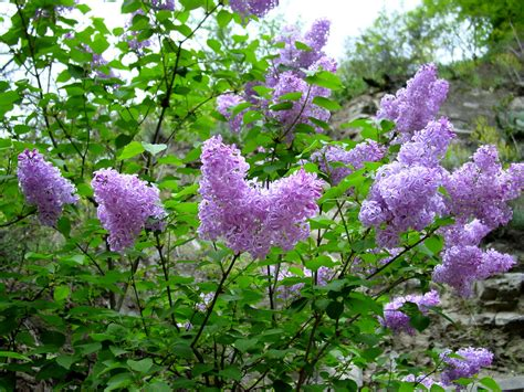 lilacs bush lilac flowering why won t my lilac bush bloom