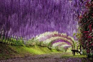 Kawachi Fuji Garden the wisteria flower tunnel at kawachi fuji garden