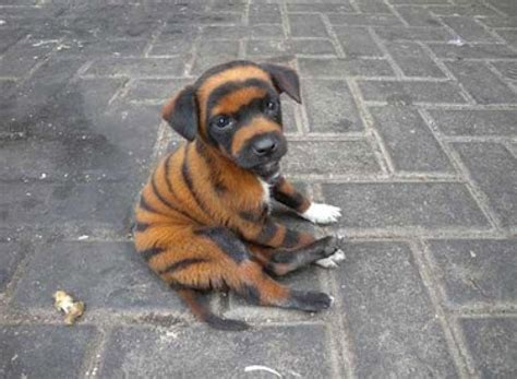 adorable puppies for sale tiger striped puppies for sale bleached with chemicals pictures of litle pups