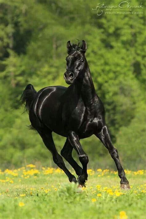 black mustang horse de 20 b 228 sta id 233 erna om black mustang p 229 pinterest