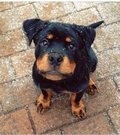 baby rottweiler for sale near me rottweilers rottweilers for sale heads world class rottweiler pups