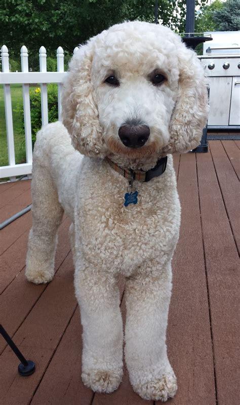 10 Best Poodle Names