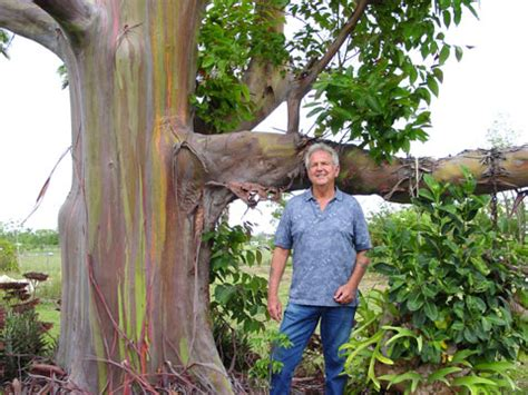 Plant Pots For Sale by Rainbow Eucalyptus Eucalyptus Deglupta Trees To Know And