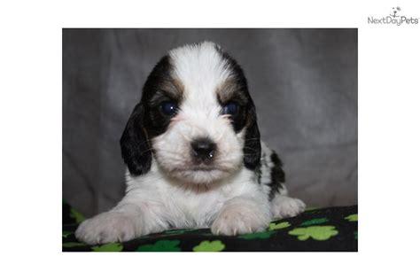 pbgv puppies for sale petit basset griffon vendeen puppy for sale near sioux city iowa 996f18d1 8071