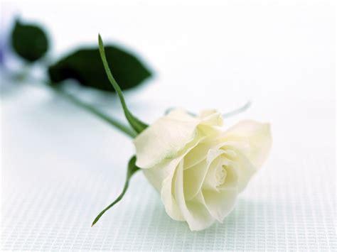wallpaper bunga ros putih gambar bunga mawar putih yang indah pernik dunia